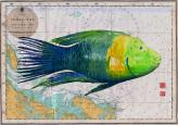Broomtale Wrasse on old chart